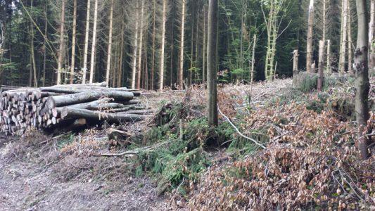 Kleine Rodung auf dem Weg zum Waldsee