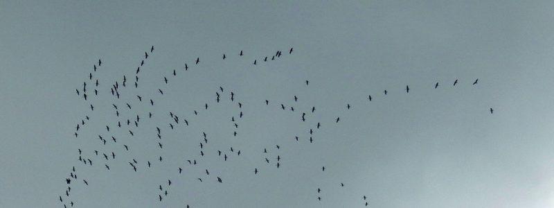 Zugvögel über Niedernhausen