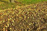 Viele Äpfel (gelb) am Boden