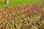 Viele Äpfel (rot) am Boden