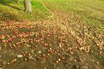 Viele Äpfel (rot-gelb) am Boden