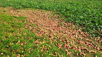 Zu viele Äpfel am Boden