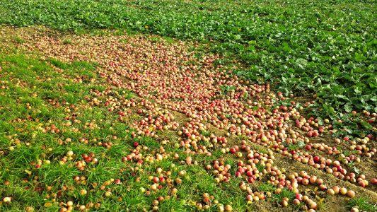 Äpfelüberschuss?