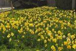 Viele schöne gelbe Narzissen