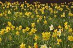 Immer noch viele schöne gelbe Narzissen